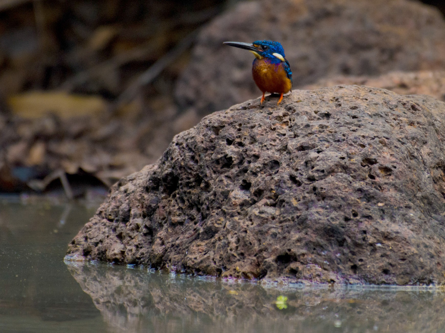 Blue-eared Kingfisher - Ganesh R Mandavkar
