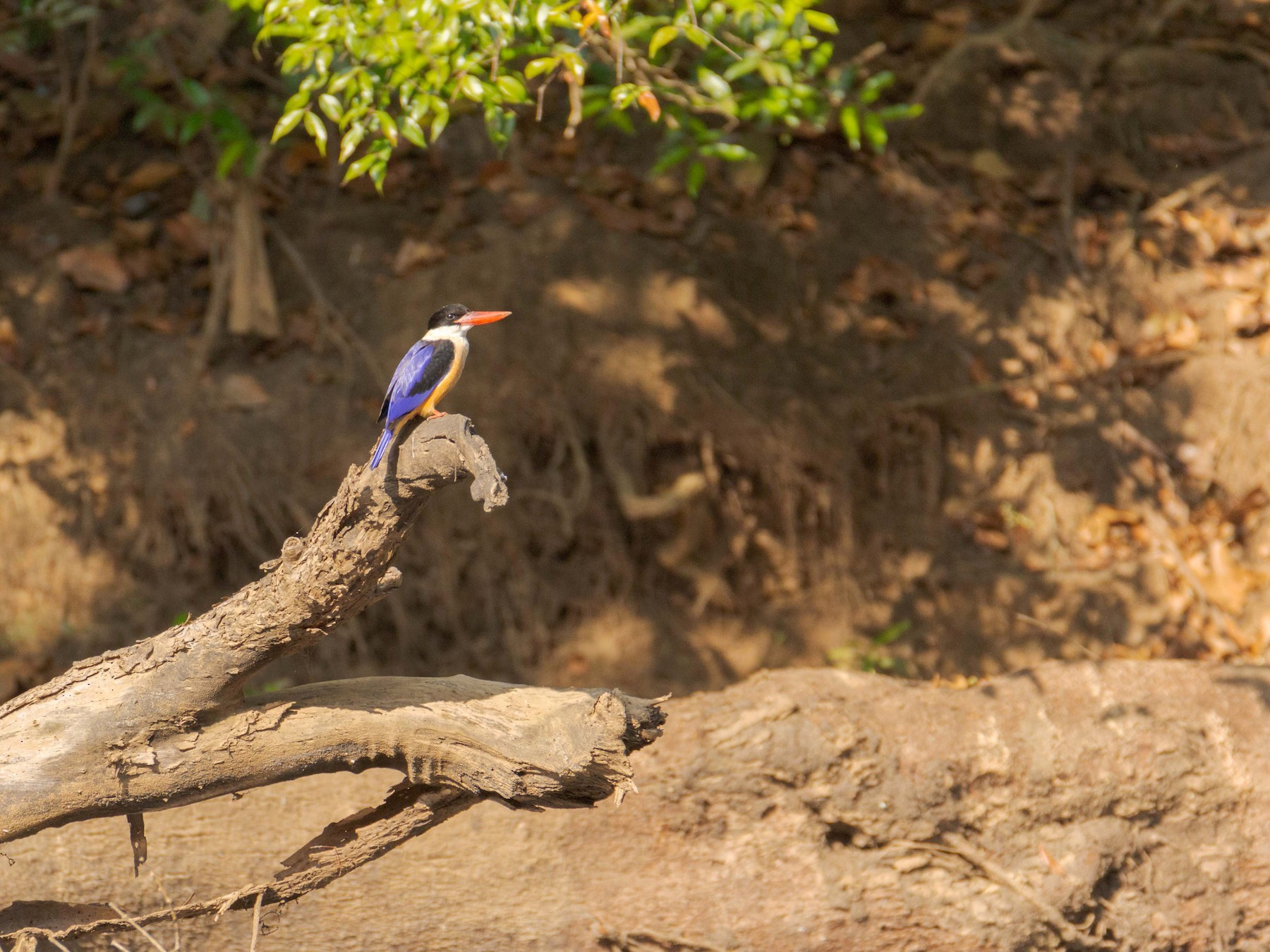 Black-capped Kingfisher - Adithya Bhat