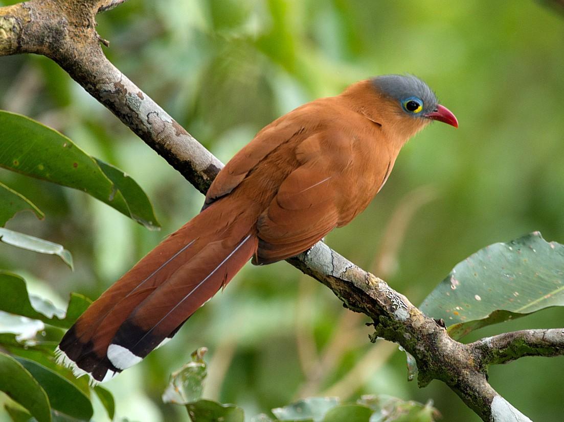 Black-bellied Cuckoo - LUCIANO BERNARDES