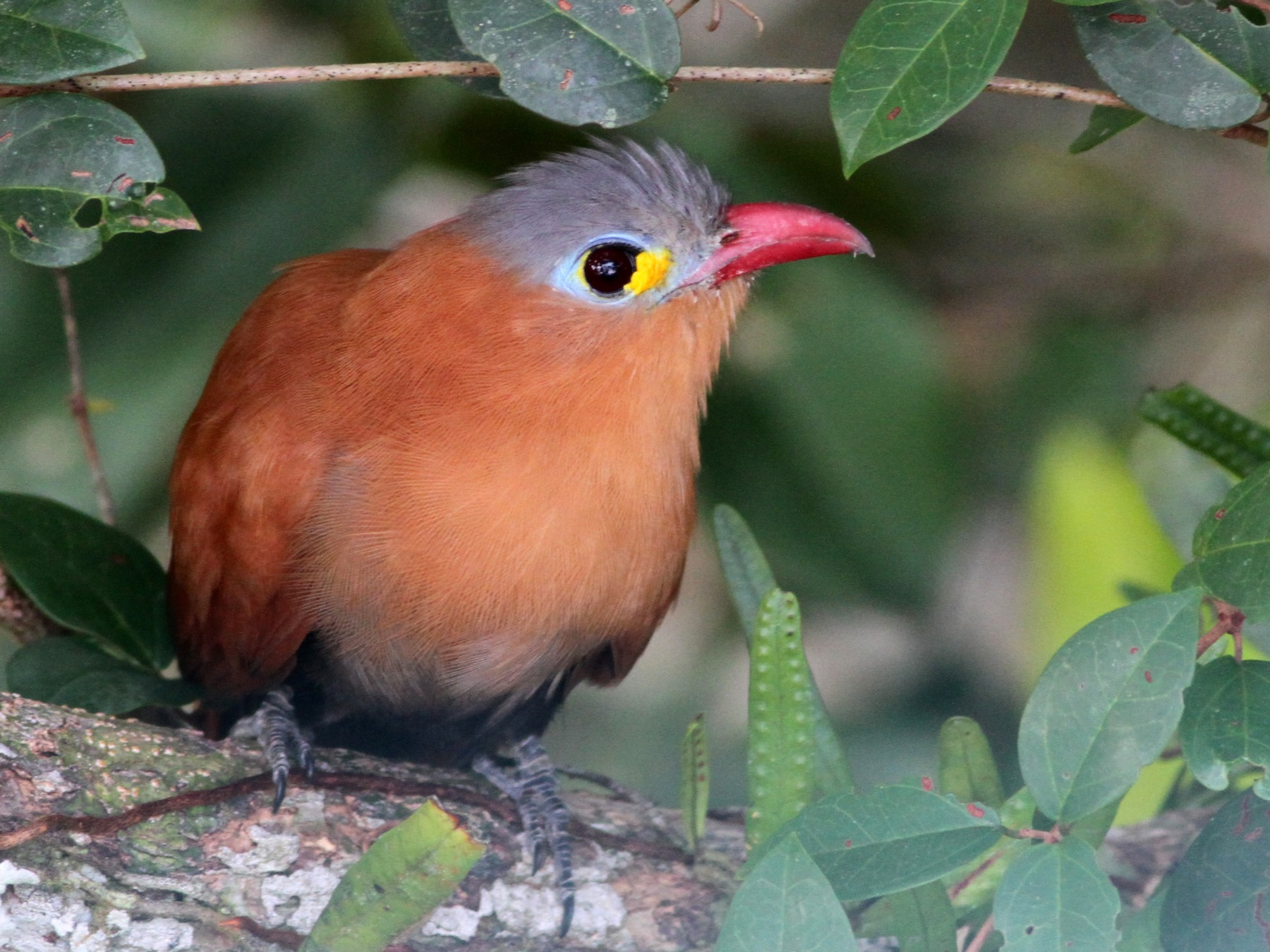 Black-bellied Cuckoo - Ian Davies