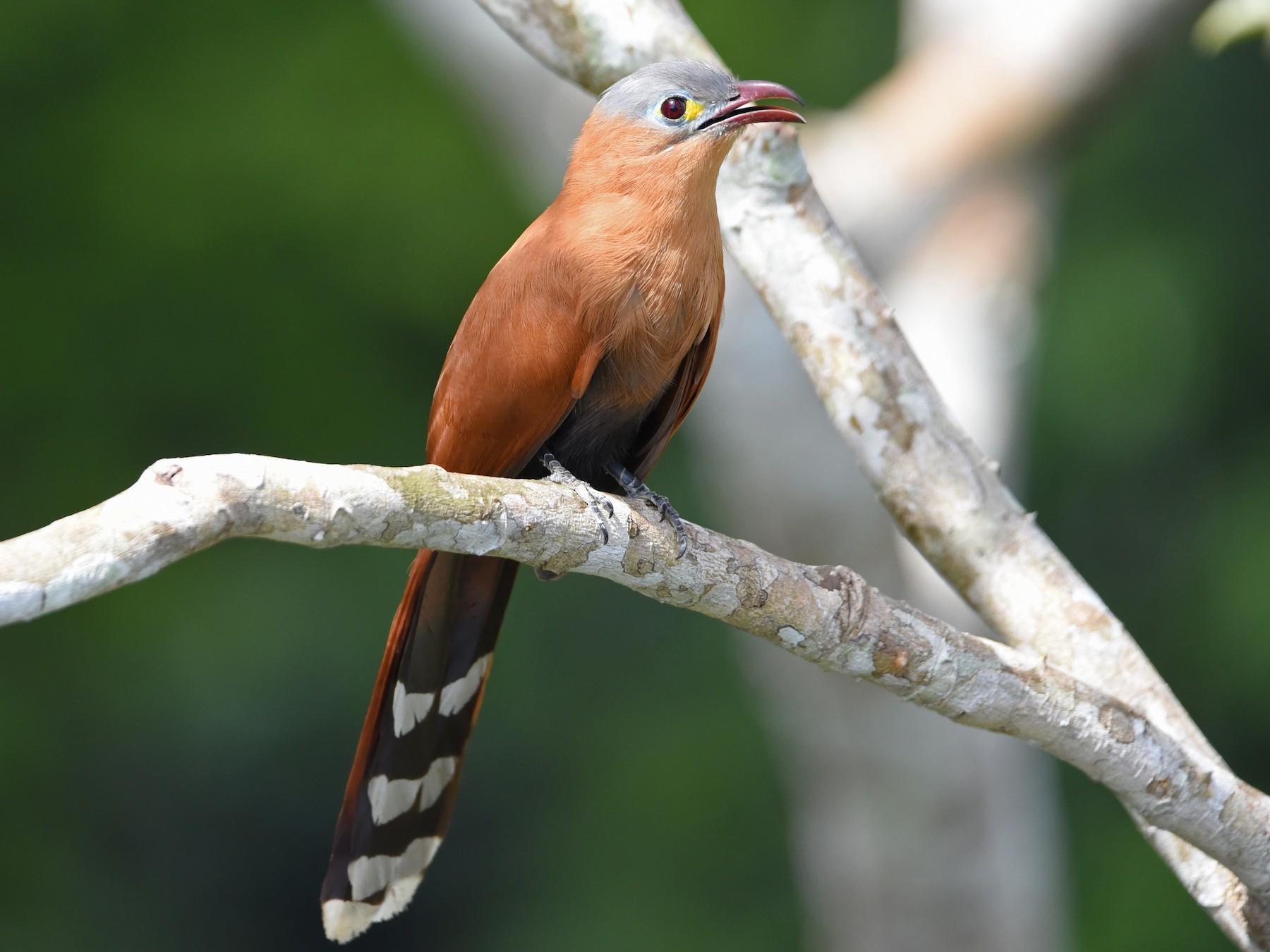Black-bellied Cuckoo - Shailesh Pinto