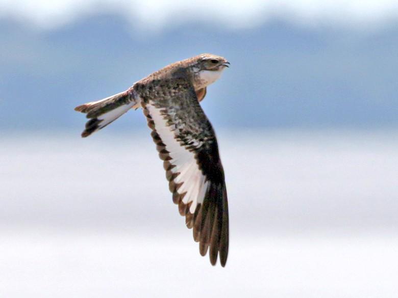 Sand-colored Nighthawk - Charley Hesse https://www.schoolofbirding.com/