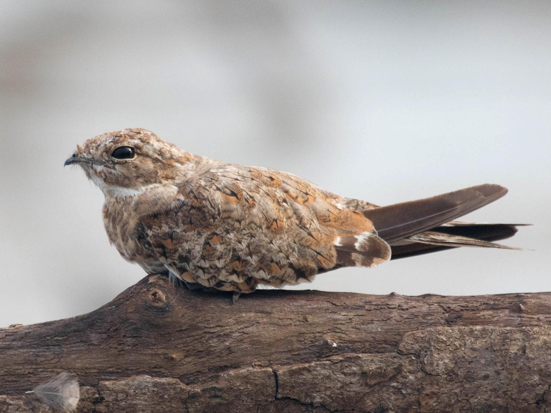 Sand-colored Nighthawk - Michael Hooper