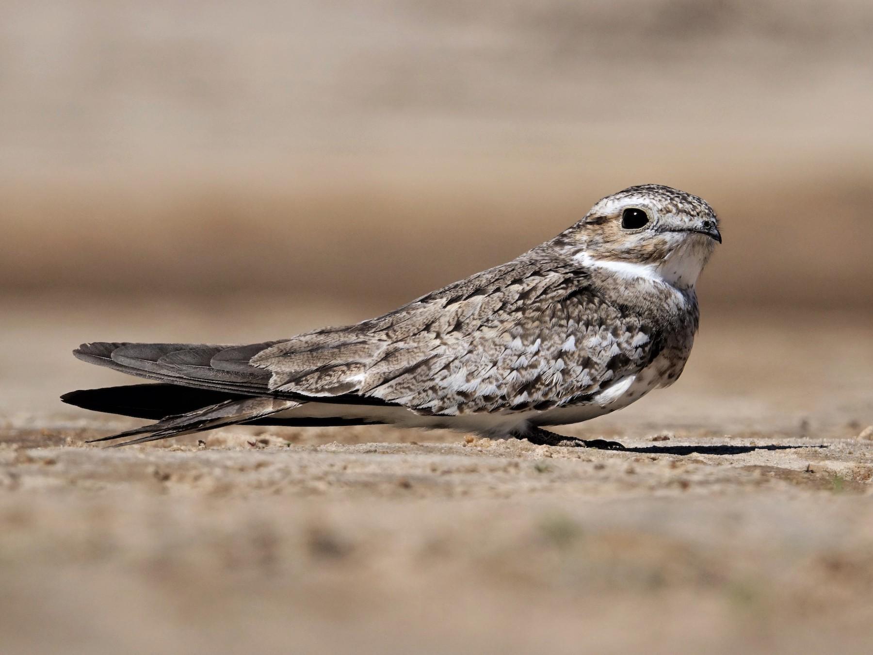 Sand-colored Nighthawk - Ottavio Janni