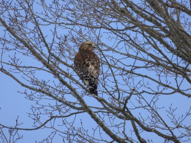 ©Anonymous eBirder - Red-shouldered Hawk
