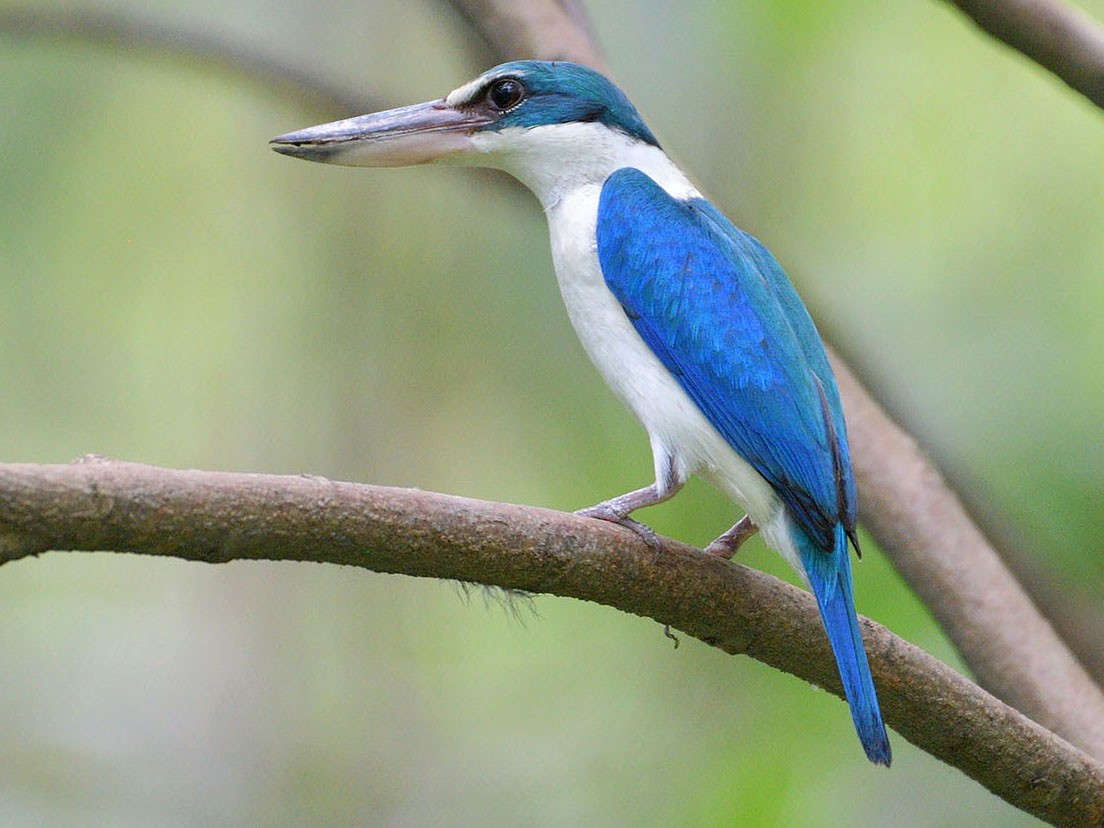 Collared Kingfisher - Khemthong Tonsakulrungruang