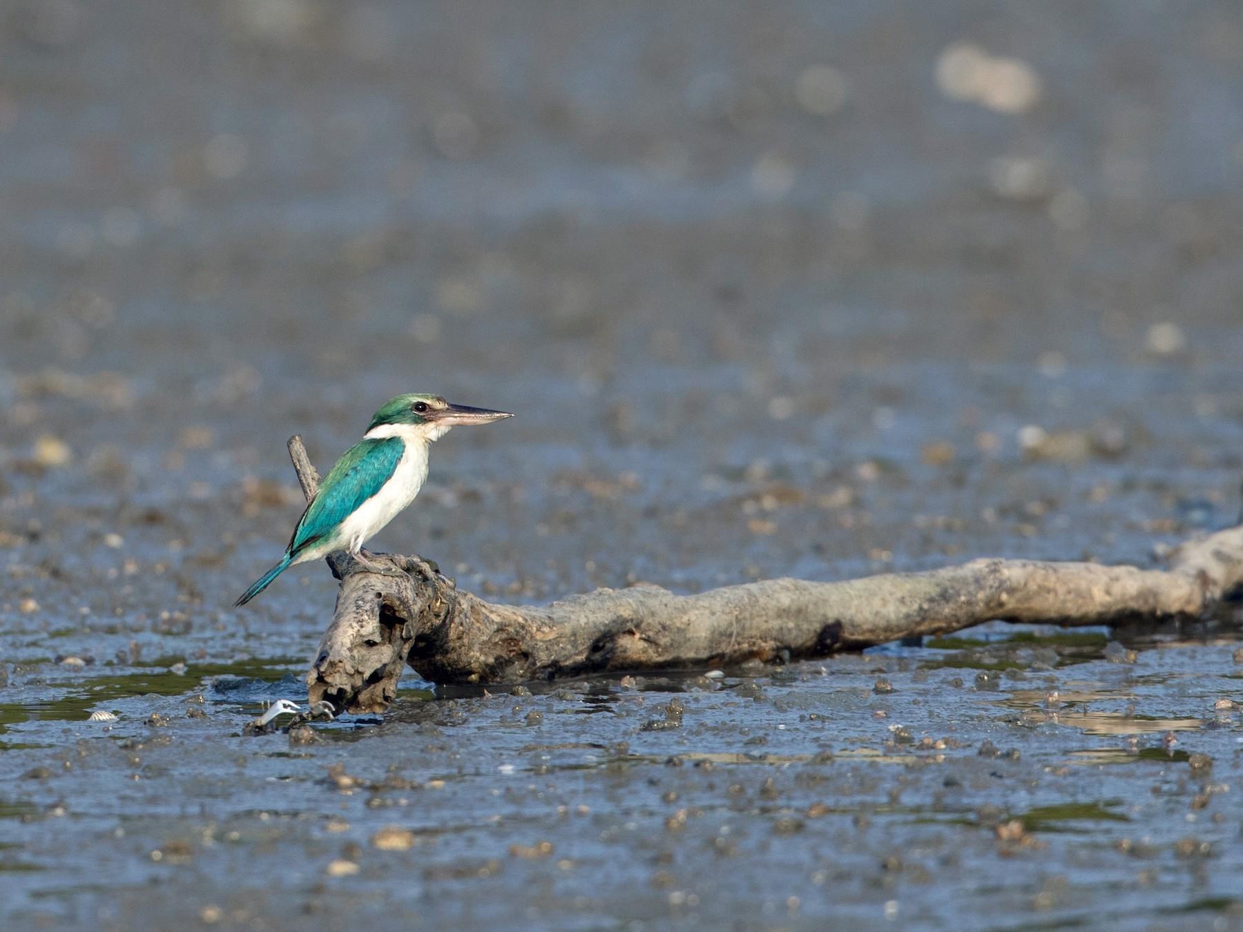 Collared Kingfisher - Ian Davies