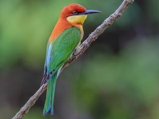 - Chestnut-headed Bee-eater