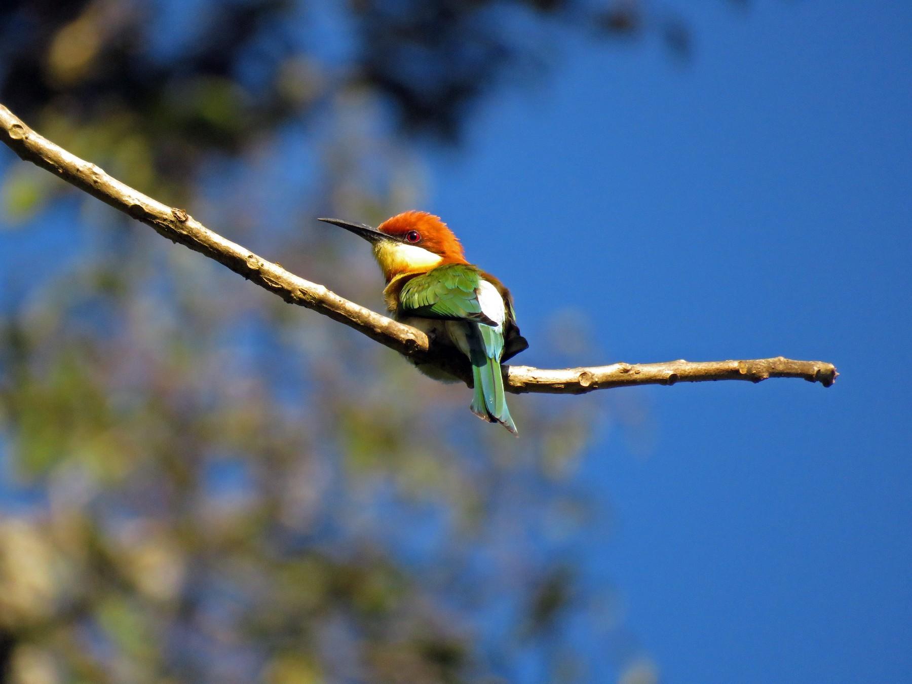Chestnut-headed Bee-eater - Selvaganesh K