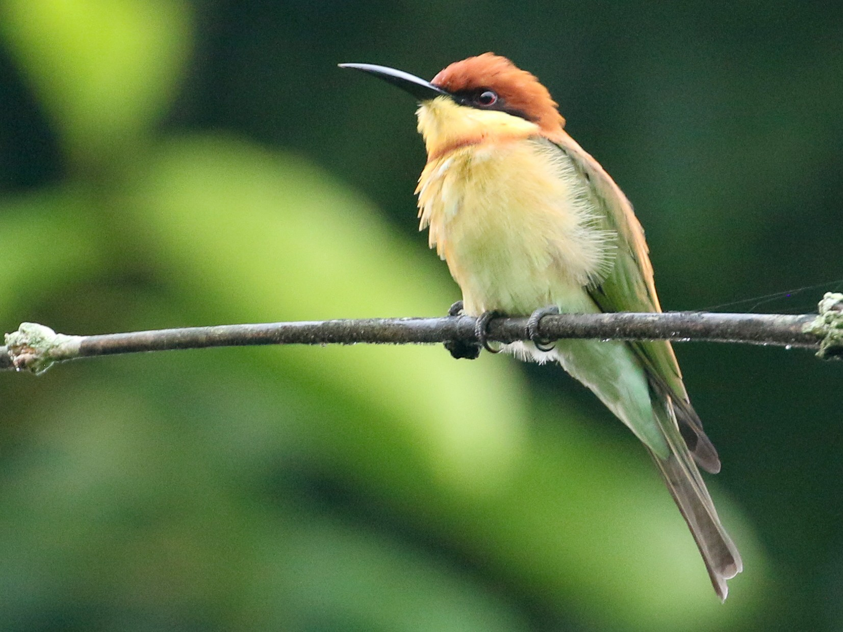 Chestnut-headed Bee-eater - Tommy Pedersen