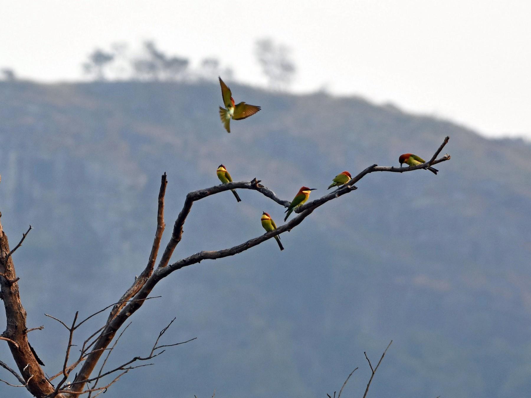 Chestnut-headed Bee-eater - Rajesh Radhakrishnan