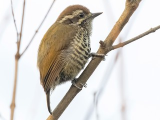 - Speckled Piculet