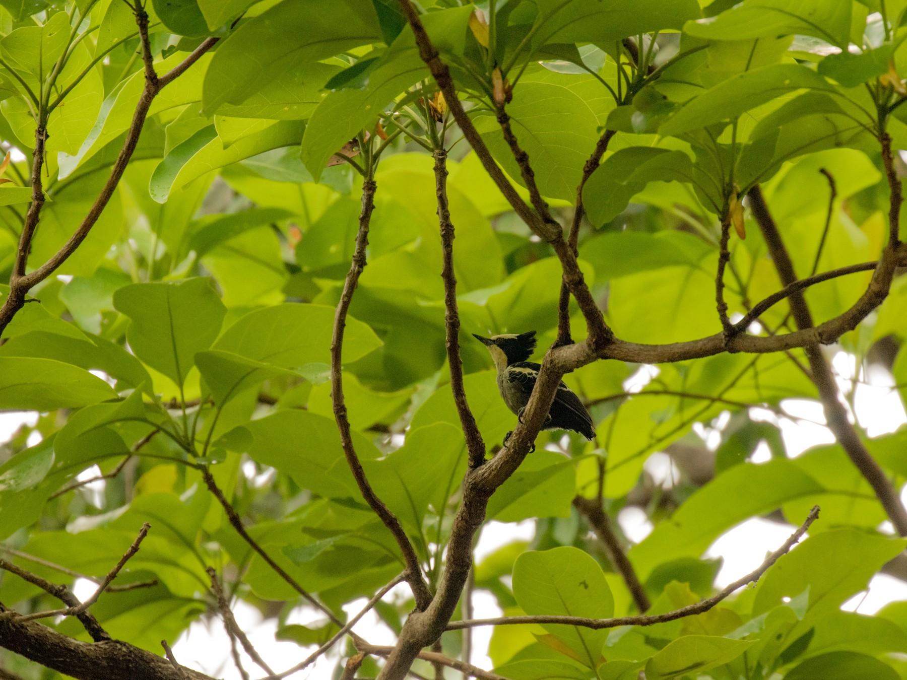 Heart-spotted Woodpecker - Sanjay Karanth