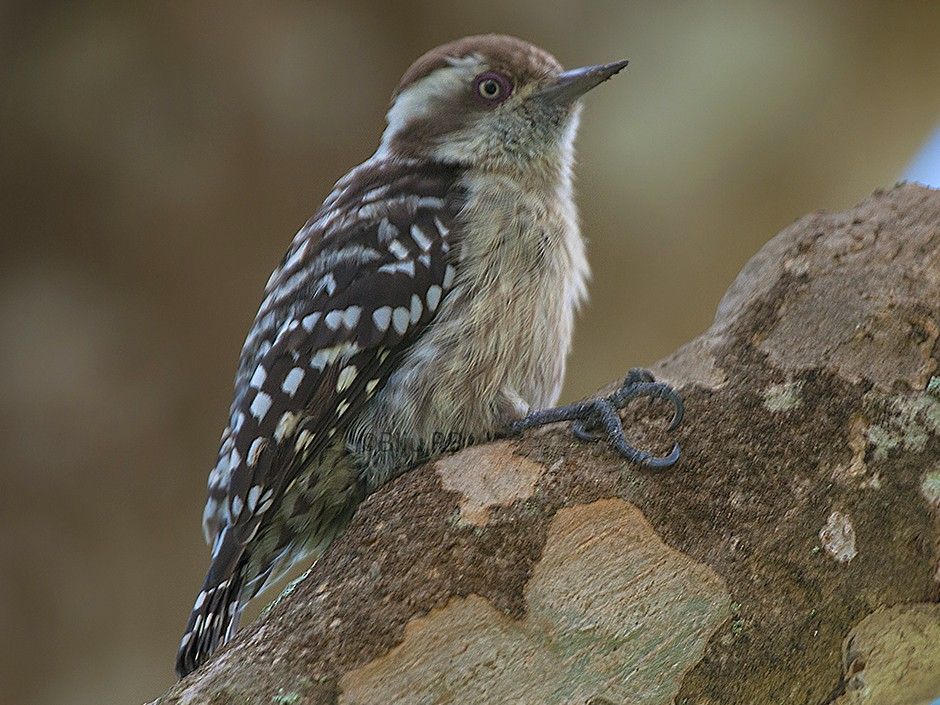 Brown-capped Woodpecker - Biju PB