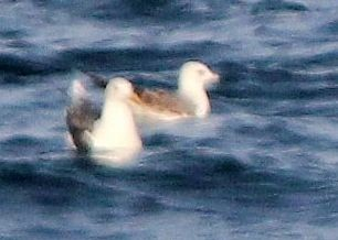 Mew Gull (Russian)