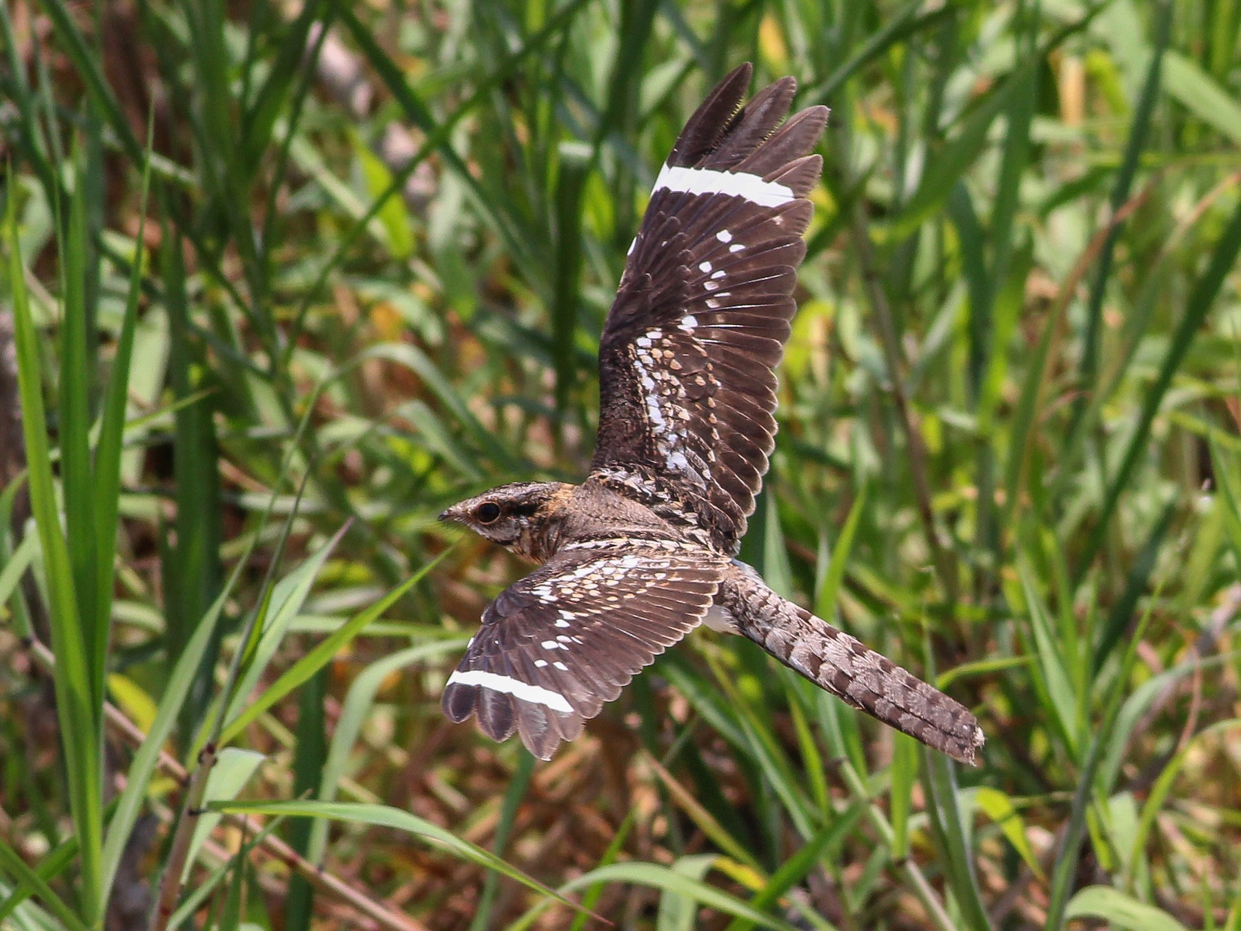 Ladder-tailed Nightjar - Cameron Rutt