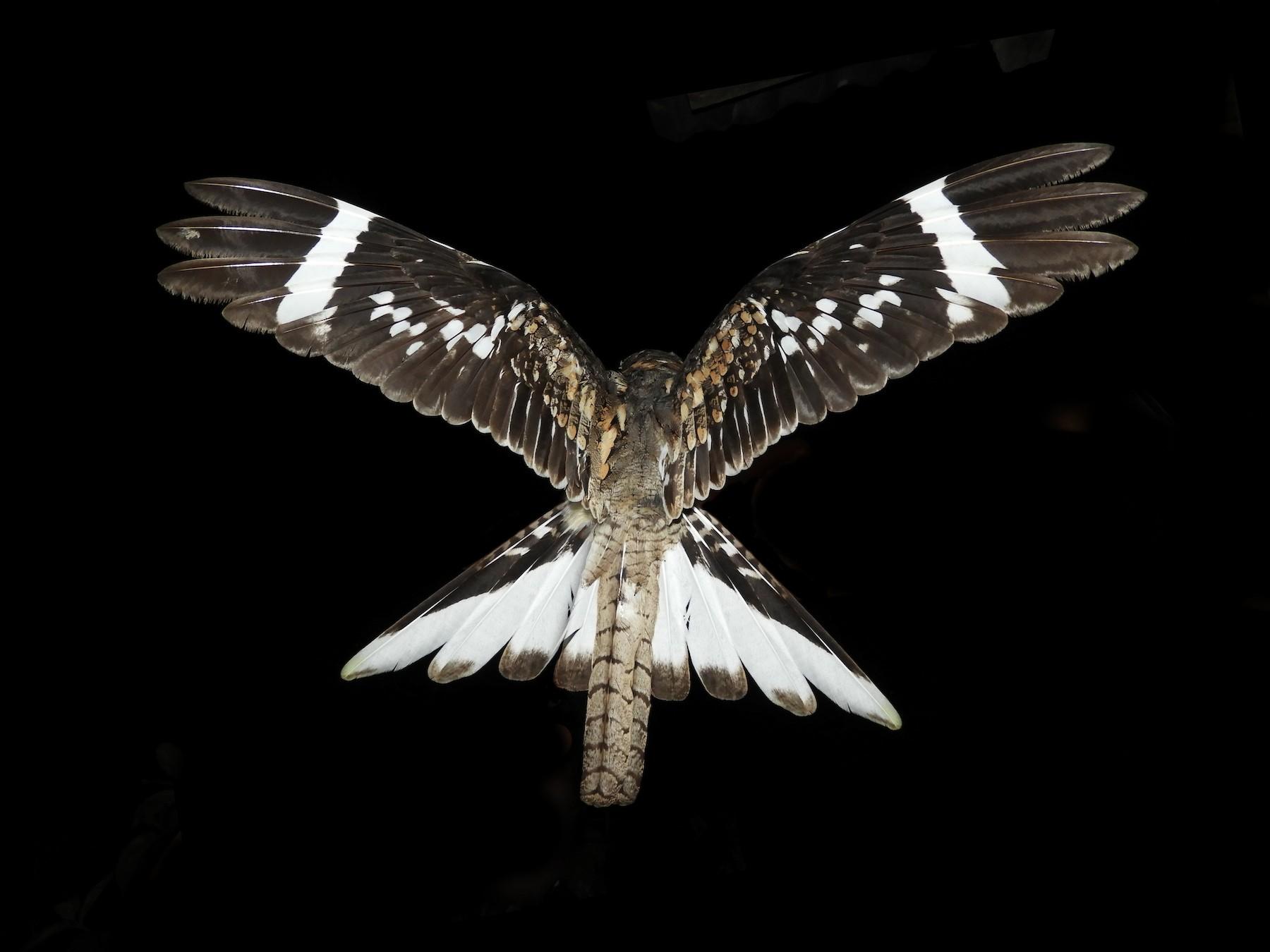 Ladder-tailed Nightjar - Jorge Muñoz García   CAQUETA BIRDING
