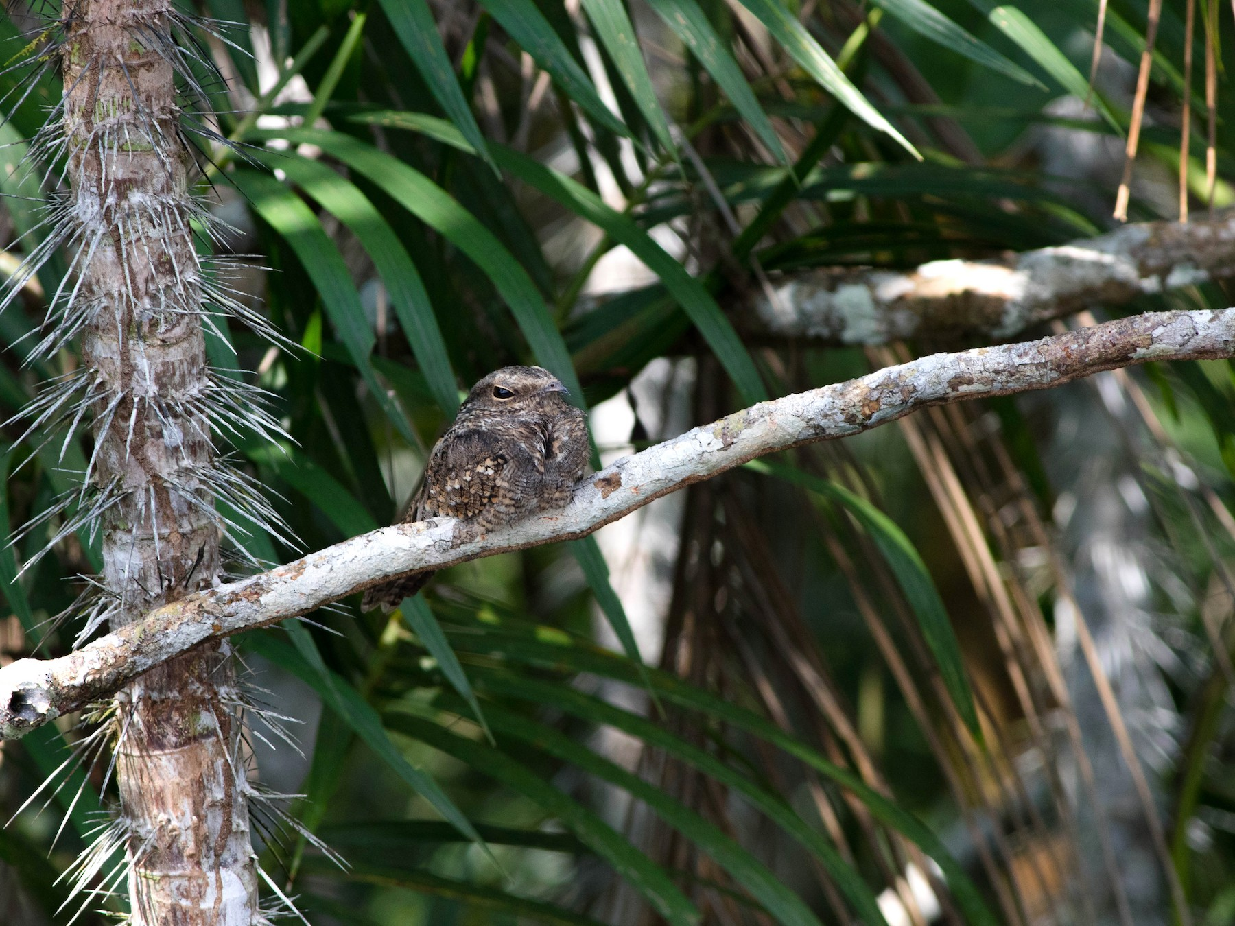 Ladder-tailed Nightjar - Jack Rogers