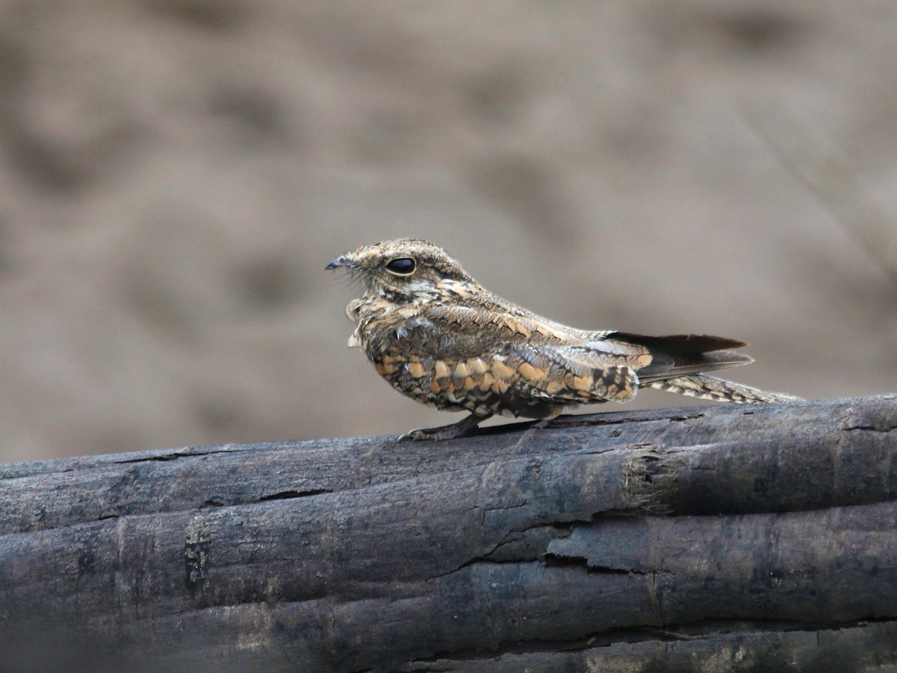 Ladder-tailed Nightjar - Eric Heisey