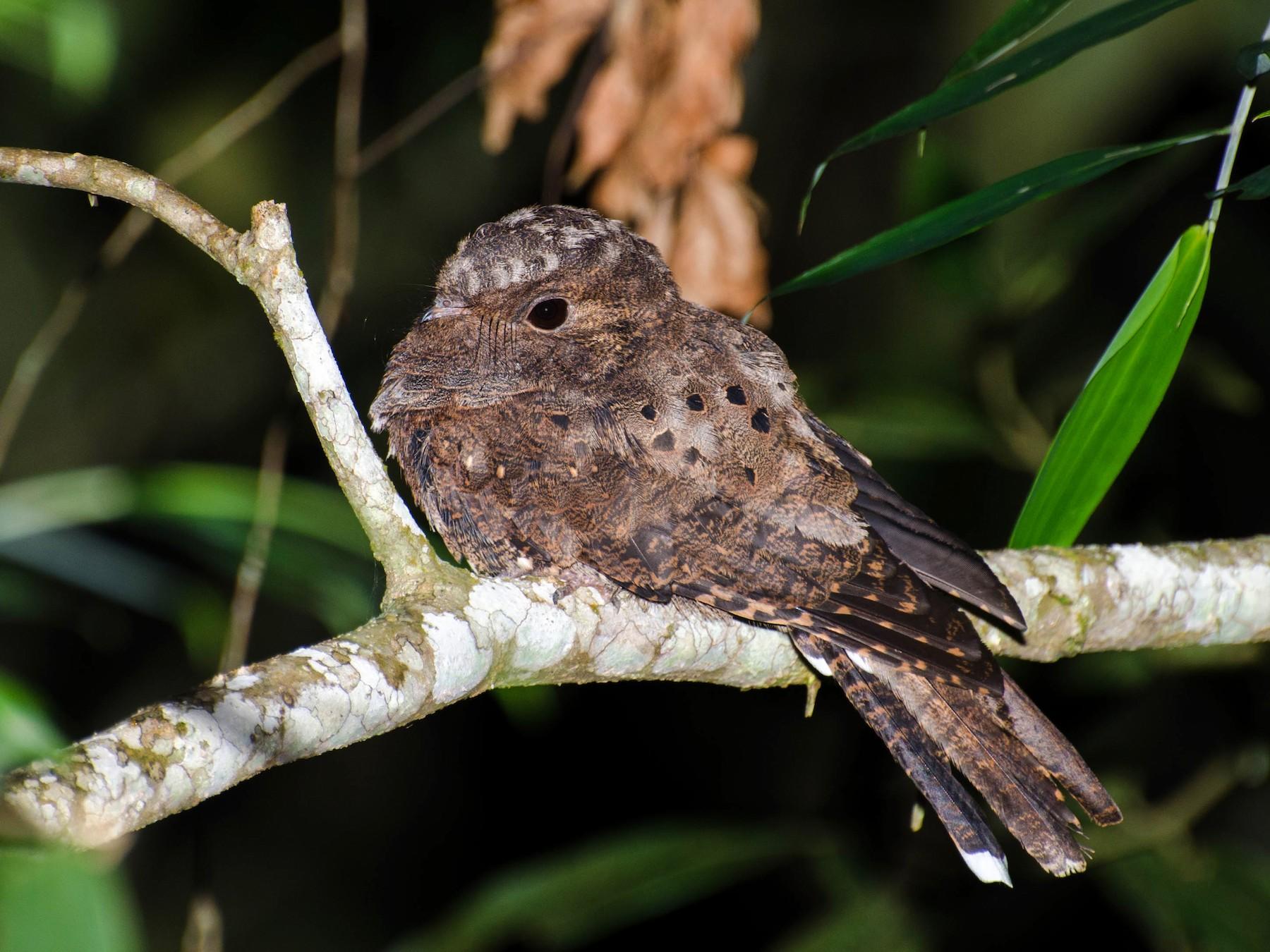 Ocellated Poorwill - Marcos Eugênio Birding Guide
