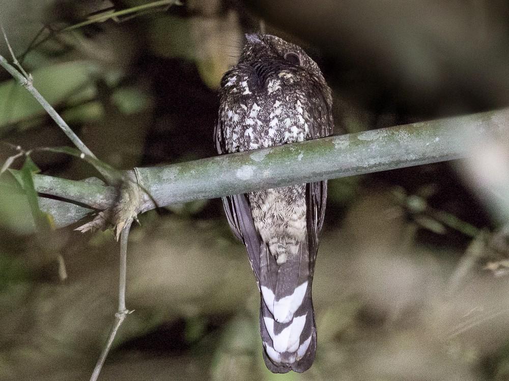 Silky-tailed Nightjar - Silvia Faustino Linhares