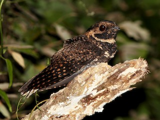 - Silky-tailed Nightjar