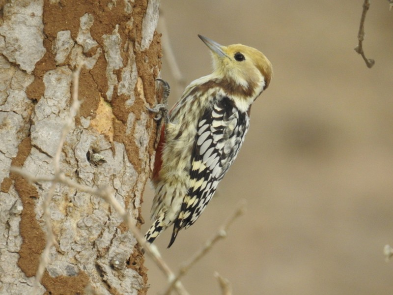 Yellow-crowned Woodpecker - Mohit Aggarwal