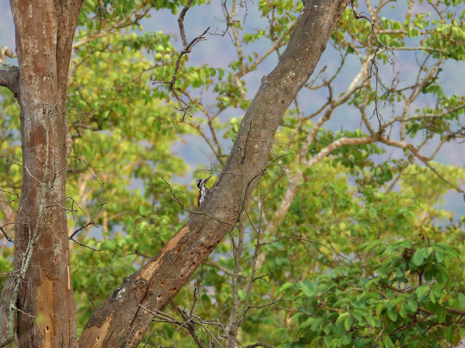 White-naped Woodpecker - Ashwin Viswanathan
