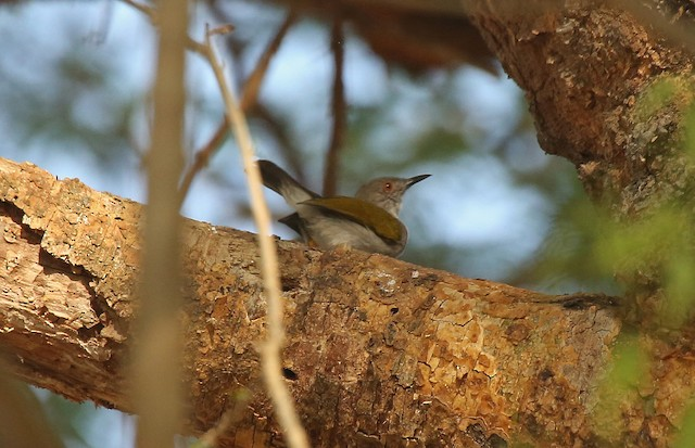Green-backed Camaroptera (Gray-backed)