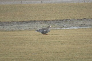 Greater White-fronted Goose, ML146738191