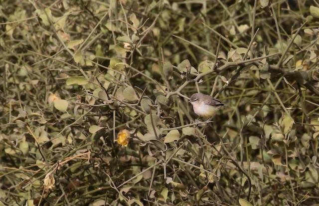 Yellow-bellied Eremomela