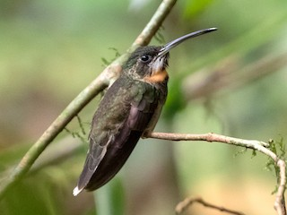 - Pale-tailed Barbthroat