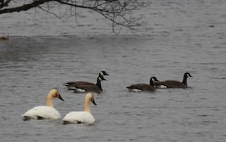 Canada Goose (occidentalis/fulva), ML146854271