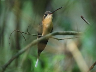 - Needle-billed Hermit