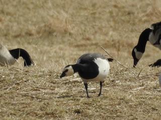 Barnacle Goose, ML146885281