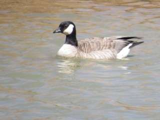 Cackling Goose, ML146921891