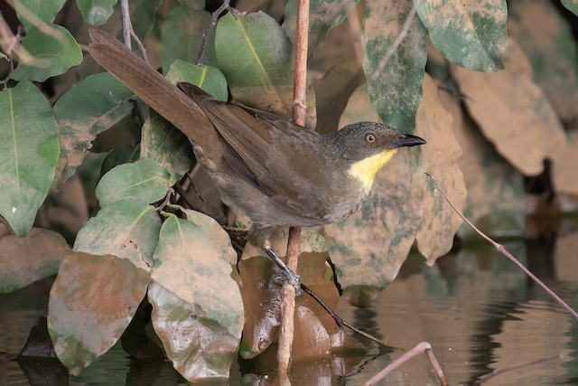Yellow-throated Greenbul