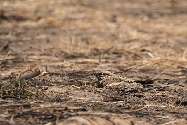 Red-necked Nightjar