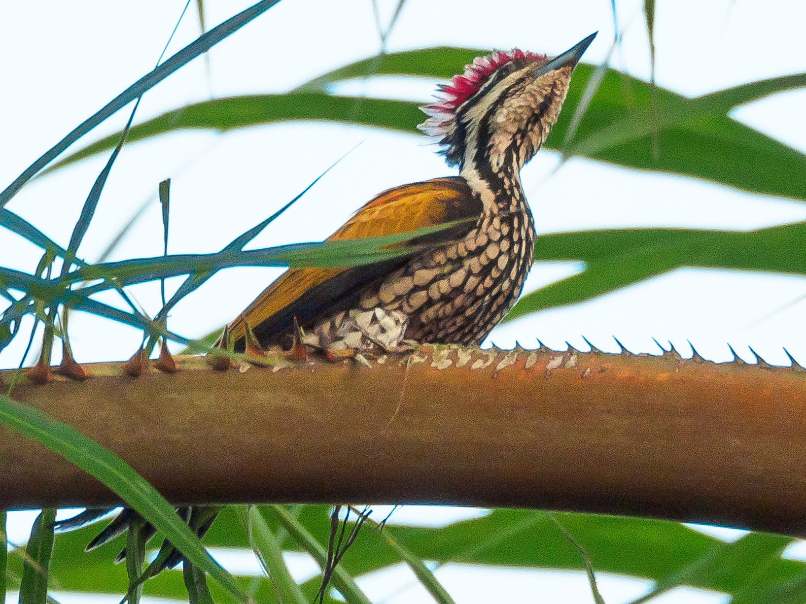Common Flameback - Karyne Wee