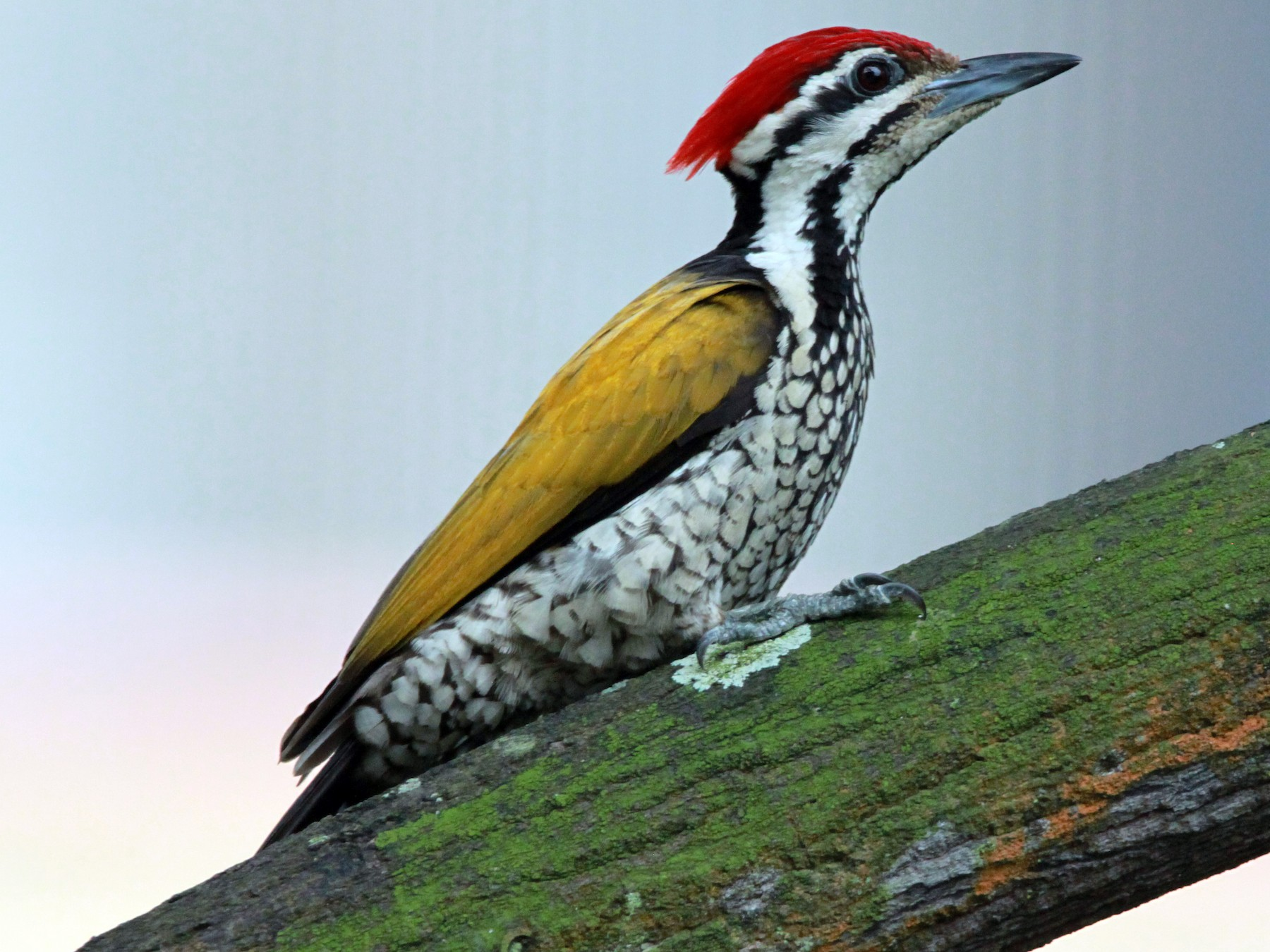 Common Flameback - William Mahoney
