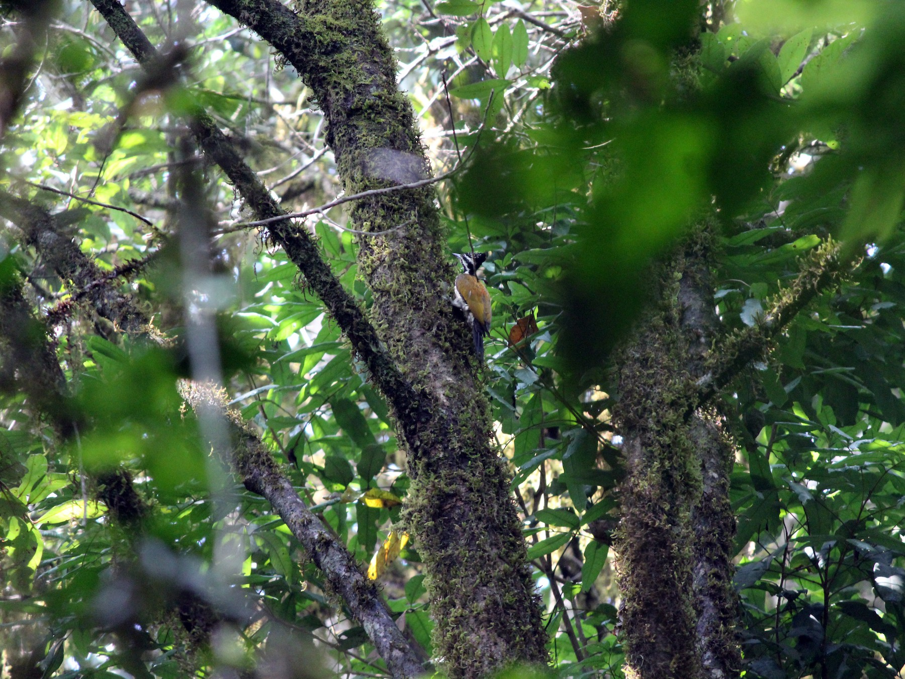Common Flameback - Ashwin Viswanathan
