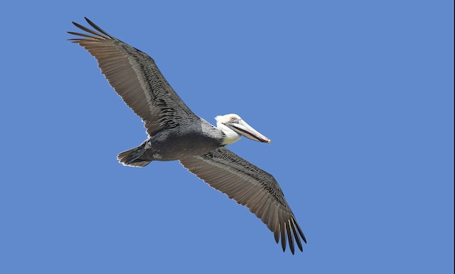 Brown Pelican (Atlantic)