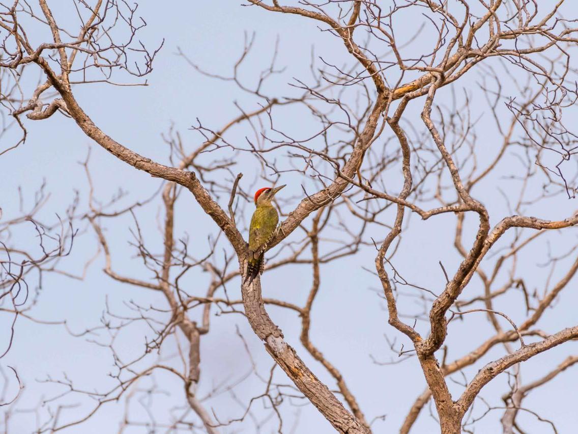 Streak-throated Woodpecker - Sriram Reddy