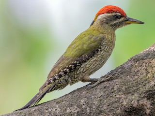 - Streak-throated Woodpecker