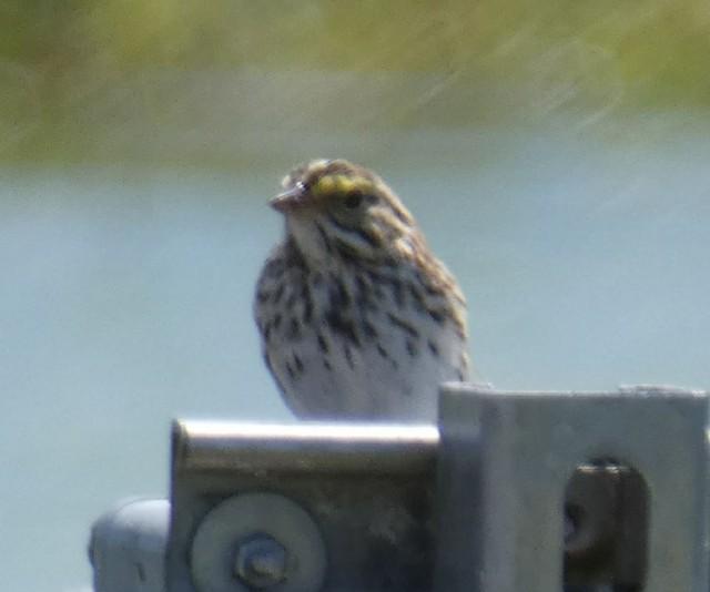 Savannah Sparrow (Savannah)
