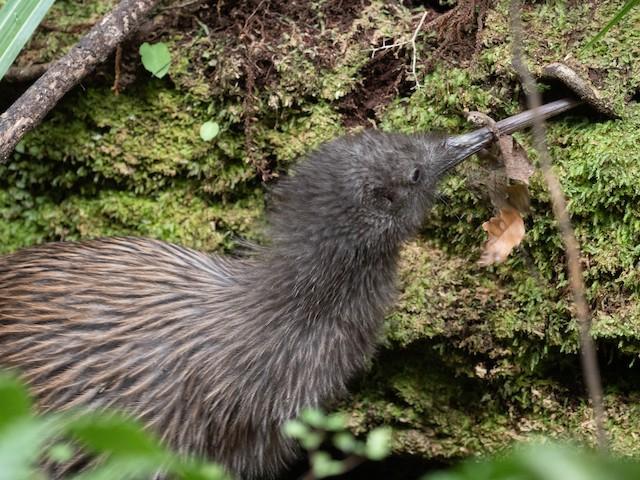Southern Brown Kiwi (Stewart I.)