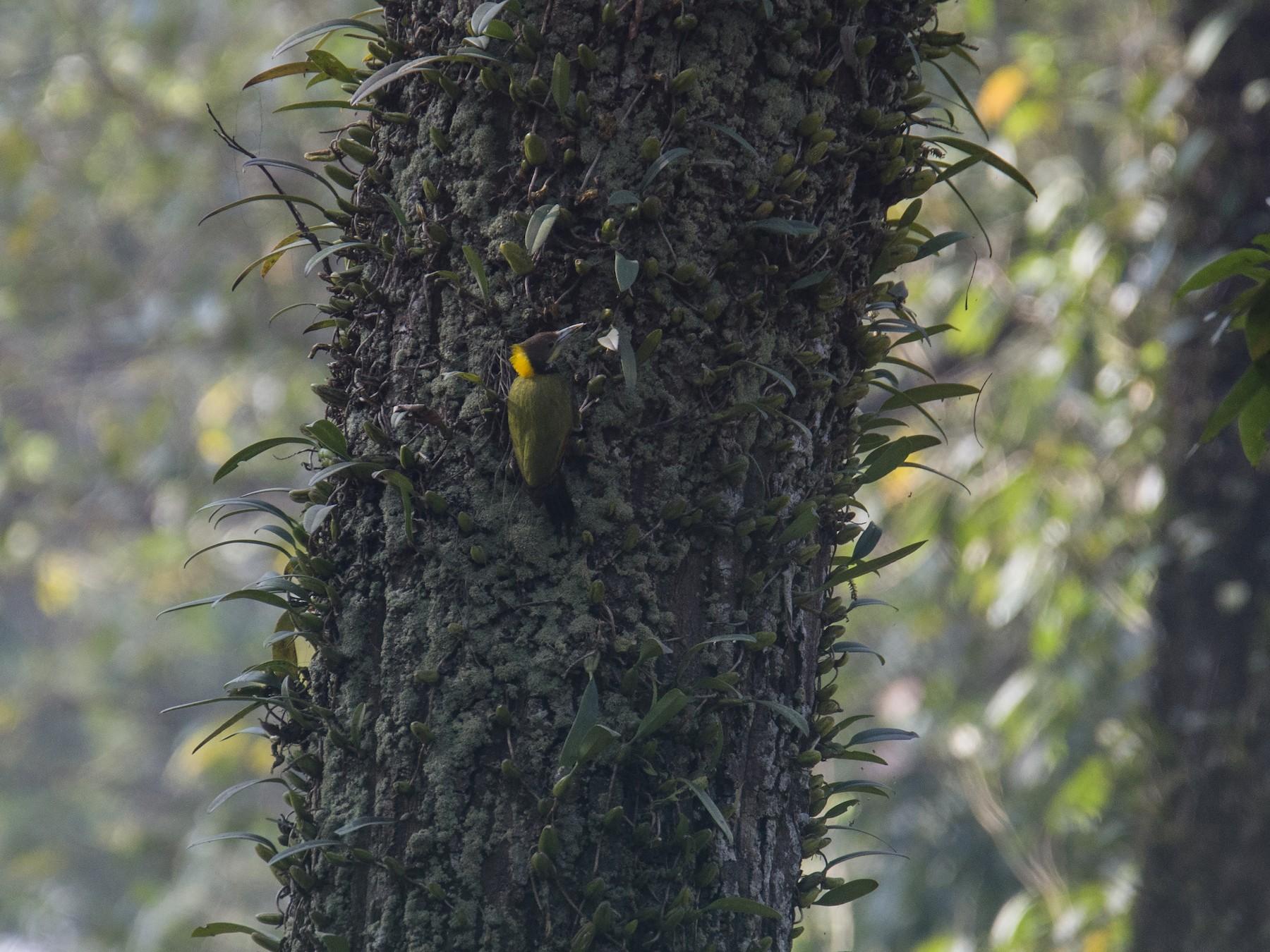 Greater Yellownape - Ayan Khanra