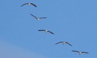 Greater White-fronted Goose, ML147273181