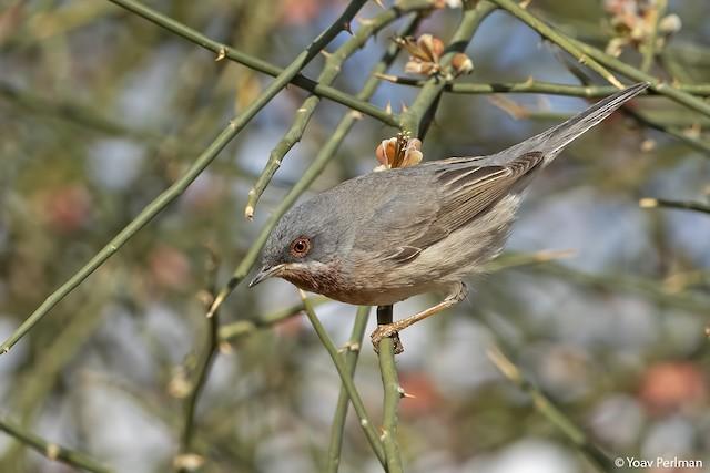Subalpine Warbler (albistriata)