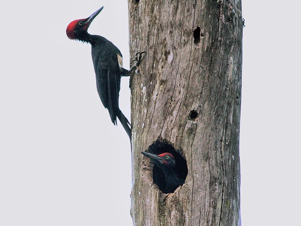 White-bellied Woodpecker - Sreehari K Mohan